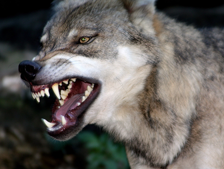 Wolf snarling and growling.