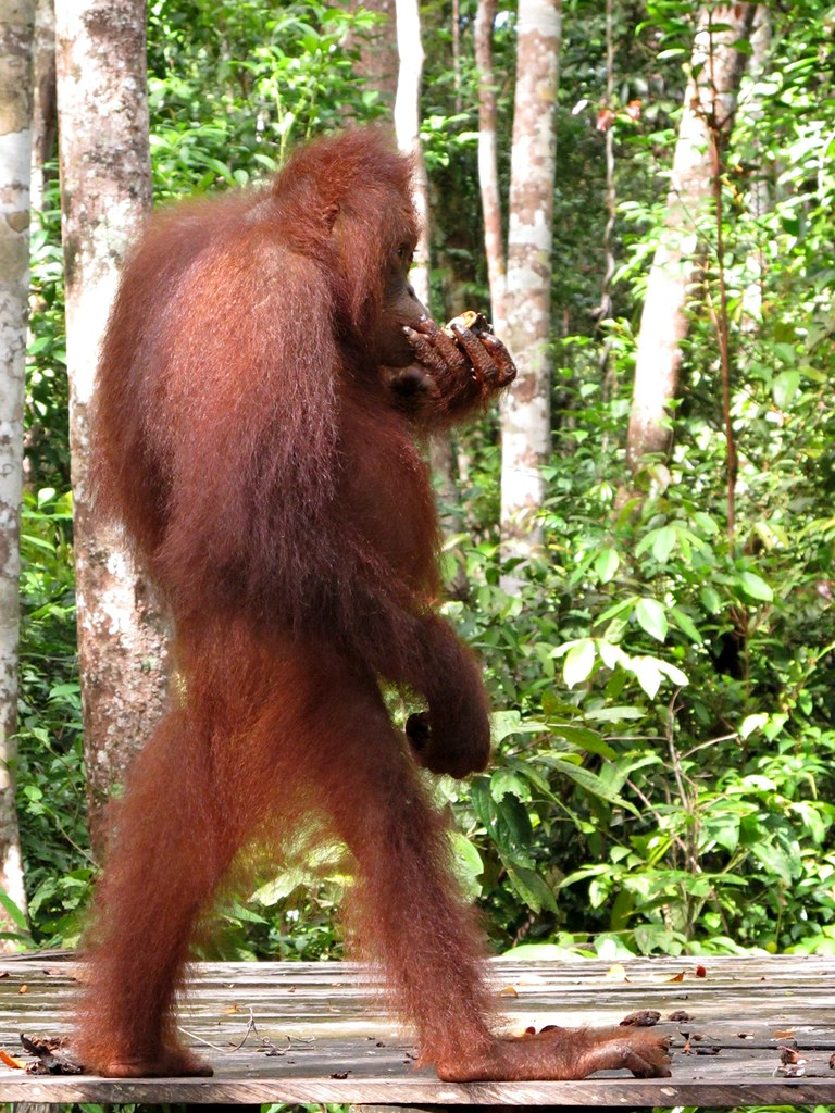 Donnie the Orange Orangutan Standing upright and walking.